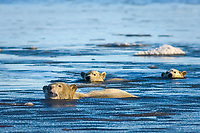 polar bear, Ursus maritimus, mother with cubs swims in the water and ice, 1002 coastal plain of the Arctic National Wildlife Refuge, Alaska, polar bear, Ursus maritimus