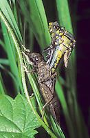 Gemeine Keiljungfer, beim Schlupf, Schlupfserie, Larve schlüpft aus ihrer Larvenhaut, Exuvie, Metamorphose, Gomphus vulgatissimus, club-tailed dragonfly, clubtailed dragonfly, Flußjungfer, Flussjungfer, Gomphidae, clubtail dragonflies