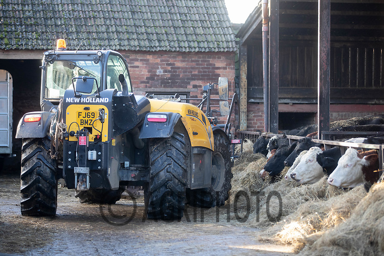 18-2-2021 Tele-Handler put silage into suckler cows <br /> ©Tim Scrivener Photographer 07850 303986<br />      ....Covering Agriculture In The UK....