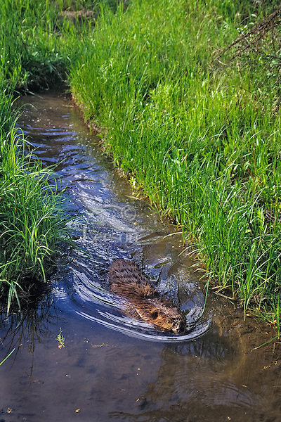 North American Beaver (Castor canadensis) swimming down small canal that branches off main beaver pond.  Western U.S., summer.  Beavers often dig canals for easier and safer routes to food supplies (cottonwood trees in this case).