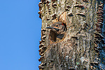 Northern flicker nestling in northern Wisconsin.