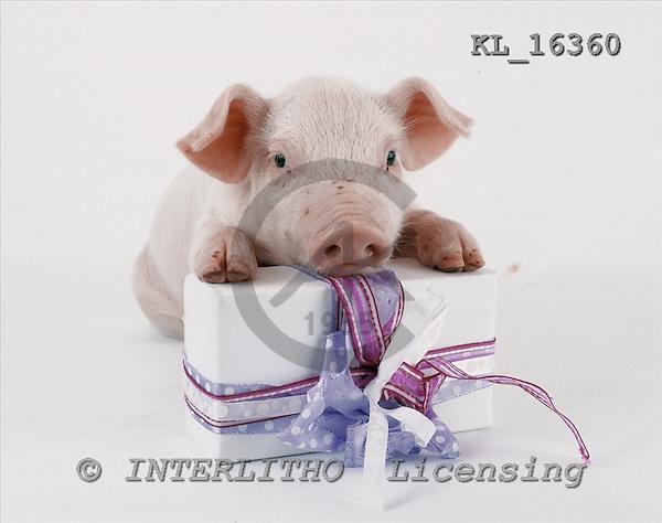 Interlitho, Alberto, ANIMALS, photos, little pig, gift, KL16360,#a# Schweine, cerdos