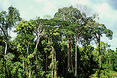 Brazil. Tumucumaque National Park; view of rainforest with angelim somberero species tree. Para - Amapa States.