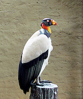 CALI - COLOMBIA, 30-06-2016: Rey de los Gallinazos, especie de ave presente en el oeste de Cali. / Rey de los Gallinazos,  bird species present in west of Cali Photo: VizzorImage / Dario Ramirez / Cont.