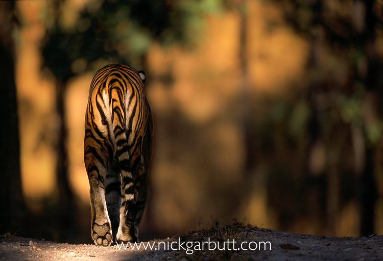 Male Bengal tiger (Panthera tigris tigris) walking on forest track. Kanha NP, Madhya Pradesh, India. Winner Gerald Durrell Award for Endangered Wildlife: Wildlife Photographer of the Year Competition, 2000.