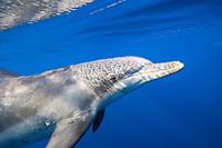 Indo-Pacific bottlenose dolphin, Tursiops aduncus, Chichi-jima, Bonin Islands, Ogasawara Islands, Natural World Heritage Site, Tokyo, Japan, Pacific Ocean