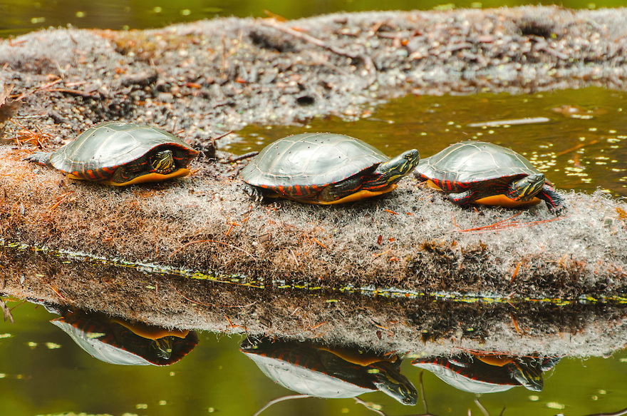 Three Painted Turtles exploit a good perch in the spring sun. Reptiles are cold-blooded and bask out of water to warm themselves.
