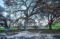 Oak tree ash ghost; Fire damage and recovery from Nuns fire October 2017, Sonoma Regional Park, California
