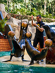 Spanien, Kanarische Inseln, Teneriffa, Puerto de la Cruz: Loro Parque - Seeloewen-Show | Spain, Canary Islands, Tenerife, Puerto de la Cruz: Loro Parque - Sea lion Show