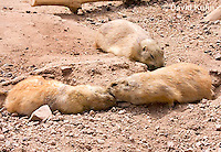 0721-1102  Black-tailed Prairie Dogs Greeting Each Other by Kissing, Cynomys ludovicianus  © David Kuhn/Dwight Kuhn Photography