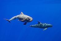 Pygmy Killer Whales, Feresa attenuata, off Kona Coast, Big Island, Hawaii, Pacific Ocean.