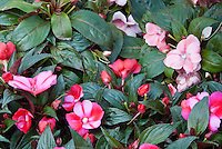 Impatiens, New Guinea mix, red and pink candy striped with pink and light pink flowers