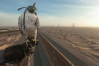 "United Arab Emirates (UAE). Dubai. Balloon Adventures Dubai. A Gyr Saker falcon with a hood and its trainer on a hot air balloon tour flight above the desert and roads of Dubai. The hourlong experience provides a look at the beauty of long stretches of desert and a raptor flying at high altitude (1000 meters). A Gyr-Saker falcon is a hybrid of the world's largest hawk, the Gyrfalcon and the second largest hawk, the Saker falcon. The bird is carrying on his back a GPS antenna to track the animal in case it get lost flying away. Falcons are birds of prey in the genus Falco, which includes about 40 species. Adult falcons have thin, tapered wings, which enable them to fly at high speed and change direction rapidly. Additionally, they have keen eyesight for detecting food at a distance or during flight, strong feet equipped with talons for grasping or killing prey, and powerful, curved beaks for tearing flesh. Falcons kill with their beaks, using a ""tooth"" on the side of their beaks. The United Arab Emirates (UAE) is a country in Western Asia at the northeast end of the Arabian Peninsula. 17.02.2020  © 2020 Didier Ruef"