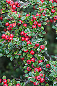 """Cotoneaster horizontalis, mid October. """"Much underrated, this is the most spectacular of all cotoneasters. Deciduous, with a low centre of gravity, and with great, flat, fan-like branches that spread horizontally. These are decorated in herringbone twigs dotted with small, dark-green, broadly oval, keeled leaves that alternate along opposite rows. The May flowers are small and white-blushed pink, and are inconspicuous until the hum of bees makes you stop. Abundant, bright-red fruit follows, creating a warming glow in October, and lasts until devoured by blackbirds. Deep crimson autumn colour adds to the show before leaves drop to reveal the most elegant of skeletons ... Origin: China."""" [Fergus Garrett, Great Dixter, Nurseryman's Favourites, Gardens Illustrated magazine, December 2013]"""