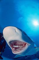 Caribbean reef shark, Carcharhinus perezii, Freeport, Bahamas, Caribbean Sea, Atlantic Ocean