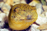 Bullfrog (Lithobates catesbeianus or Rana catesbeiana) (c) Photo of the Tadpole stage of it's developement. Showing close up of head.