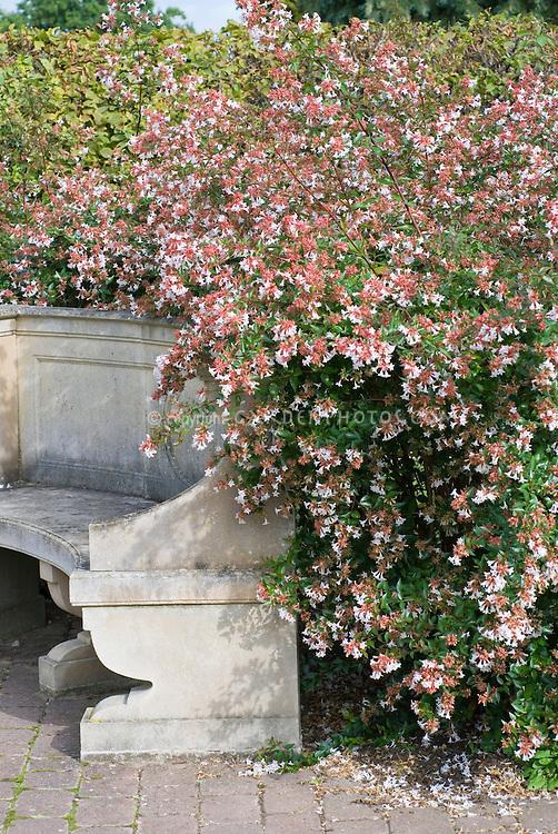 Abelia x grandiflora entire shrub plant habit next to stone garden bench