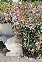 Abelia x grandiflora entire shrub plant habit next to stone garden bench