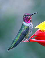 Male Anna's hummingbird at Goose Island SP at Lamar, TX near Rockport, TX in February 2011. An uncommon visitor to TX.