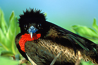 Great Frigatebird-male-with deflated throat pouch.