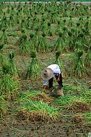 Farmer in rice fields of Gulin China
