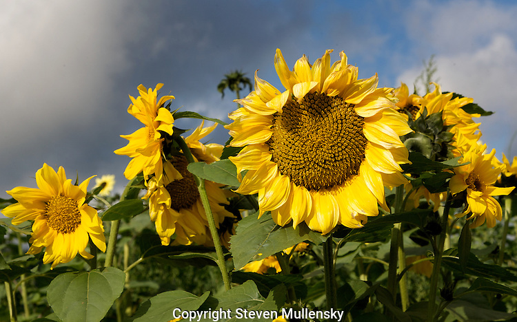 Sunflowers capture the early morning sun.