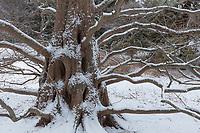 dawn redwood, Arnold Arboretum, winter, snow, Boston, MA