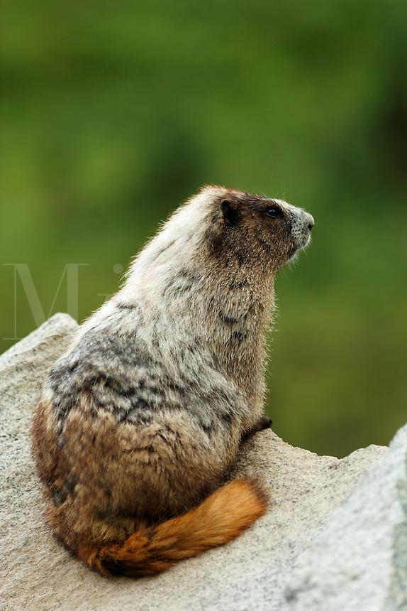 Hoary marmot on rock, Paradise Valley, Mount Rainier National Park, Washington, USA