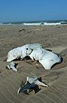 Skeleton coast, os de cétacé rongé par le sel Namibie. Afrique.Namibia; Africa
