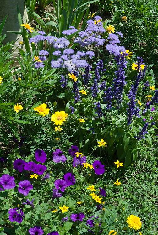 Blue and purple and yellow color theme garden, petunias, marigold Tagetes, Salvia farinacea, Ageratum
