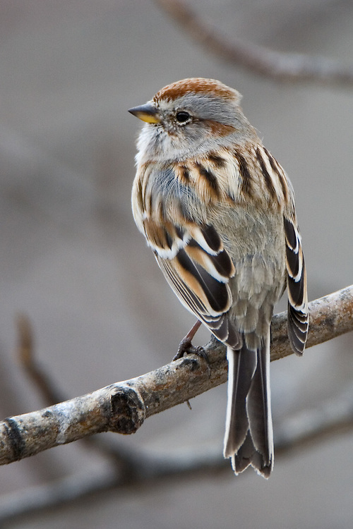 American Tree Sparrow perched on a branch