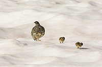 White-tailed Ptarmigan (Lagopus leucurus) hen and chicks walking across late melting snow patch.  Mount Rainier National Park, WA.  Summer.