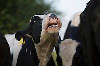 Rind, muht, Muhen, Hausrind, Kuh, Kühe, Rinder, artgerechte Tierhaltung, Weidevieh, Weidewirtschaft, cattle, cow, moo, ranching, farming. Hamfelder Hof, Schleswig-Holstein