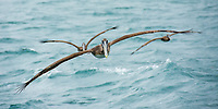 Three Brown Pelicans, Pelecanus occidentalis, fly over the Caribbean Sea near Gibara, Cuba