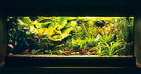 Eingerichtetes Aquarium, Gesellschaftsbecken, Warmwasseraquarium, tropisches Süßwasser-Aquarium, aquarium, fish tank