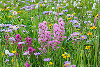 Colorful Wildflowers--paintbrush, bistrort, daisies/fleabane, and groundsel--cover the ground in subalpine meadow, Beartooth Mountains of Northern Wyoming.  July.