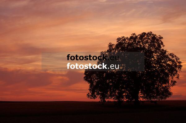 einzelner Walnussbaum im Feld vor rotem Himmel nach Sonnenuntergang in Rheinhessen