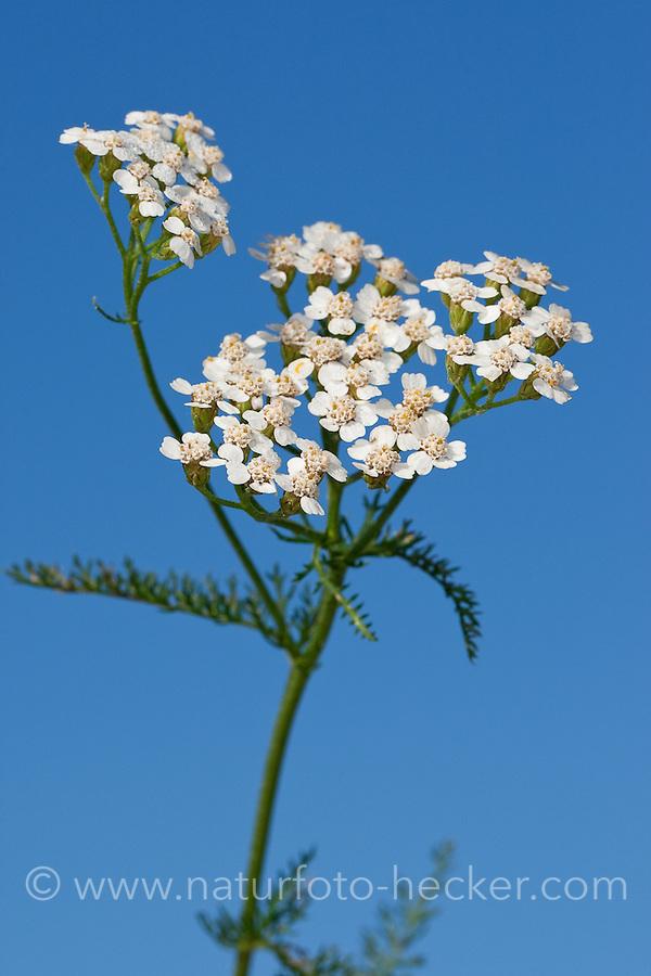Gewöhnliche Schafgarbe, Wiesen-Schafgarbe, Schafgabe, Achillea millefolium, Common Yarrow, Achillée millefeuille