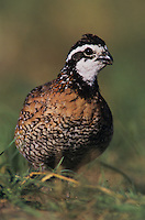Northern Bobwhite, Colinus virginianus, male, Lake Corpus Christi, Texas, USA, May 2003