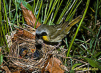 WB05-002z  Common Yellowthroat Warbler - adult male feeding young at nest - Geothlypis trichas