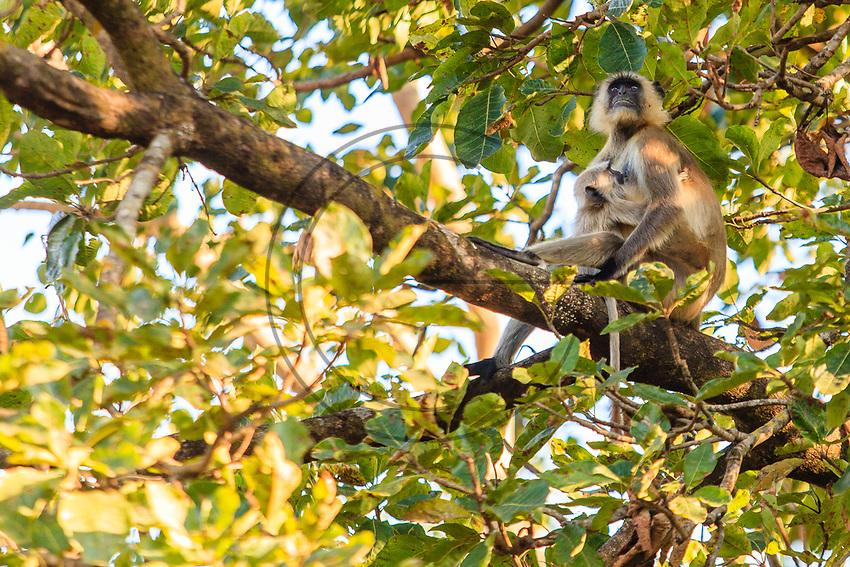 Asia,India,Madhya Pradesh,Bandhavgarh National Park,Common Langur monkey