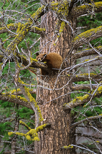 Black Bear (Ursus americanus) cub (cinnamon color phase) resting in old growth doug fir while mother feeds nearby.  Western U.S., May.