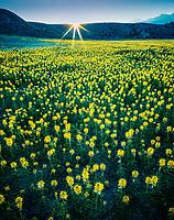 Bee Flowers at Dawn, Spanish Valley, Utah    Capparidaceae