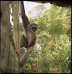August 2000. Jakarta, Indonesia. A wild monkey is  held captive at a wealthy jakartans home. The monkeyis endangered and since Suhartos downfall the endangered animal business has proliferated because of government corruption and inability to police the industry.