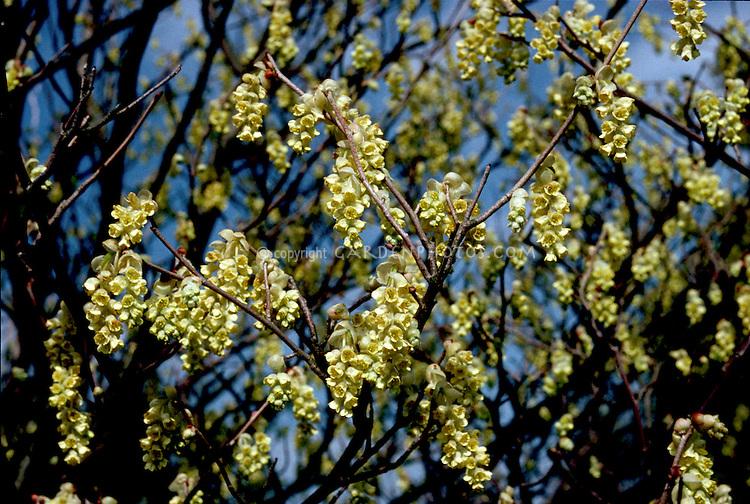 Corylopsis glabrescens yellow flowers in spring bloom, spring flowering shrub