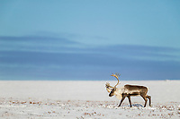 Barren ground caribou travel across the snow covered tundra along the Arctic Coastal Plains, Arctic Alaska.