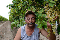 TURKEY Manisa, cultivation of organic grapes for production of raisin and sultana, grapes at farm / TUERKEI, Anbau von Weintrauben fuer Verarbeitung zu Bio Trockenobst Rosinen und Sultaninen fuer die Firma Rapunzel, Trauben am Rebstock, Farmer Hüseyin Irtem