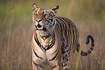 Bengal tiger (Panthera tigris) walking in tall dry grass, looking alert, dry season, April