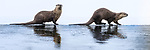 North American river otters ((Lontra canadiensis)(formely Lutra canadiensis) on ice at river's edge. Upper Yellowstone River, Hayden Valley, Yellowstone, USA. January (stitched image)