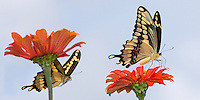 Giant Texas Swallowtails, with the male 'sneaking' up from behind.<br />